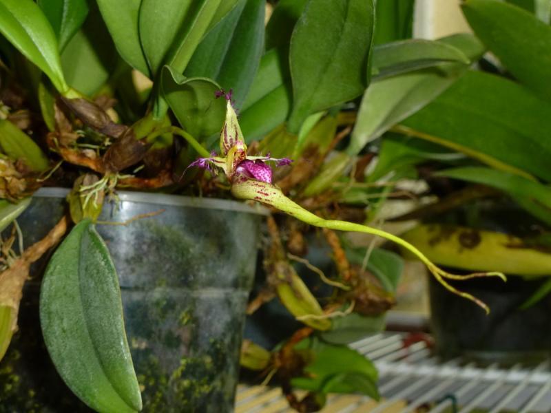 Bulbophyllum putidum (6).JPG