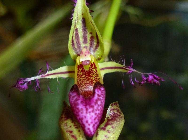 Bulbophyllum putidum (5).JPG
