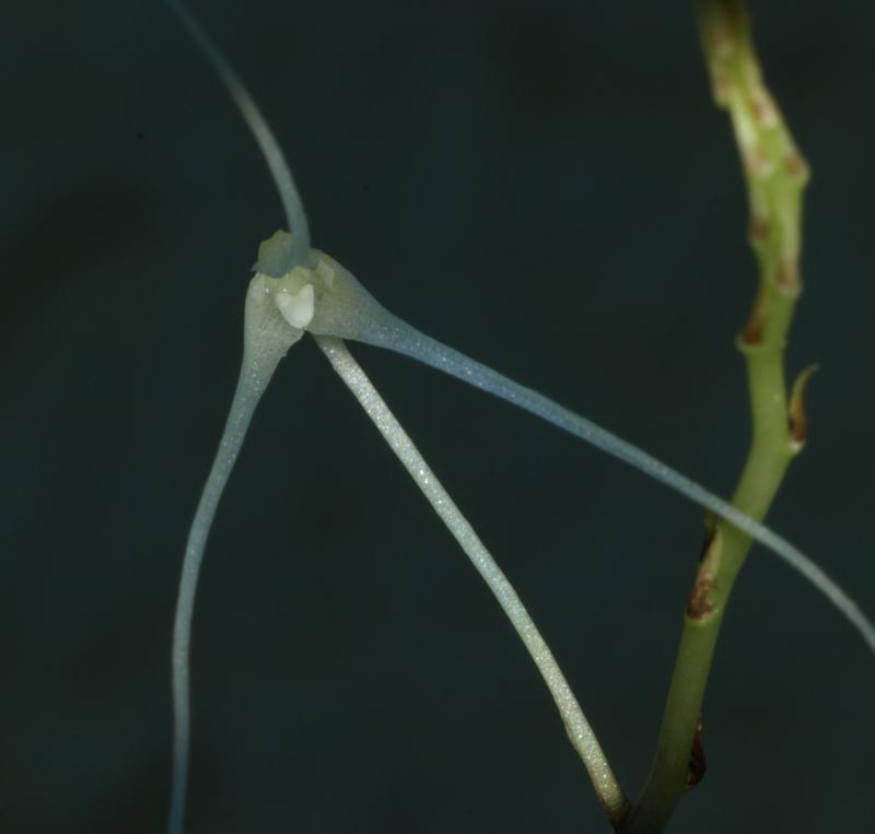 Bulbophyllum levatii subsp. mischanthum  (1).JPG