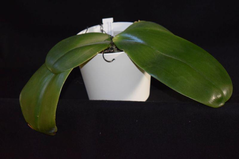 Phalaenopsis gigantea x bellina (Gigabell) Pictures_u19509_dBrLKmgc