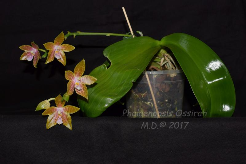 Phalaenopsis hieroglyphica x venosa ( Ossirah ) Pictures_u20391_DWgIGBwi