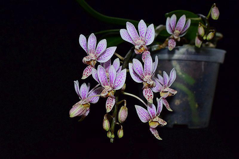 Phalaenopsis equestris x finleyi (Donna's Delight ) - Seite 2 Pictures_u22504_ZOHVmwJD