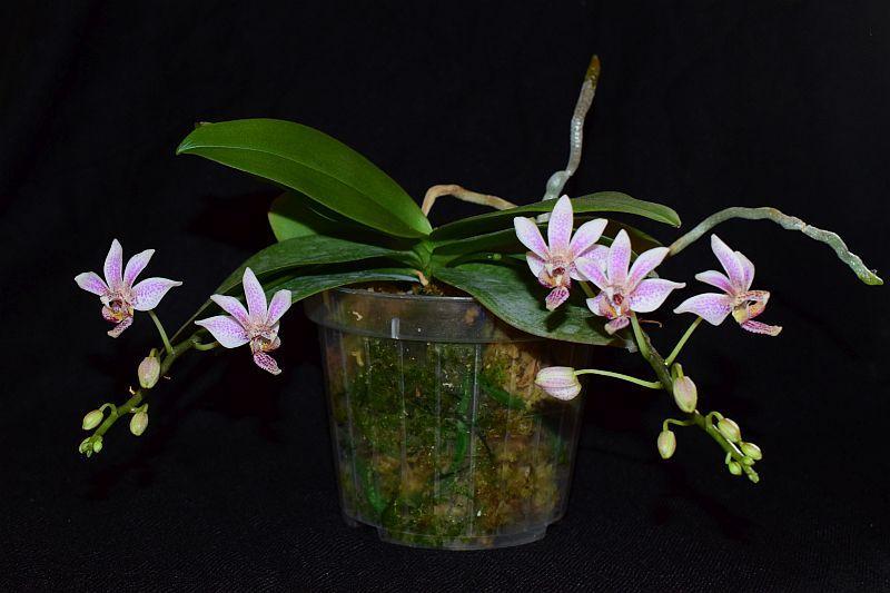 Phalaenopsis equestris x finleyi (Donna's Delight ) - Seite 3 Pictures_u23524_ZLRTdOKh