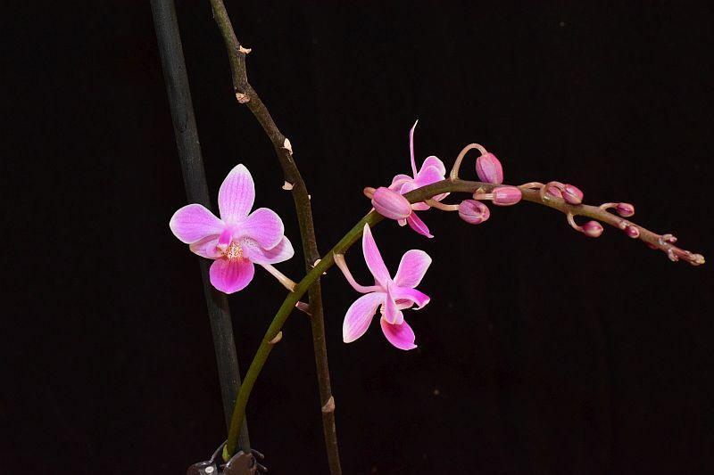 Phalaenopsis lindenii x equestris (Venus) Pictures_u24080_KUnwjzNV