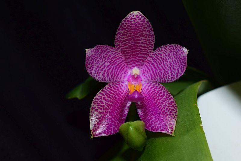 Phalaenopsis gigantea x bellina (Gigabell) Pictures_u24718_HMTWaUis
