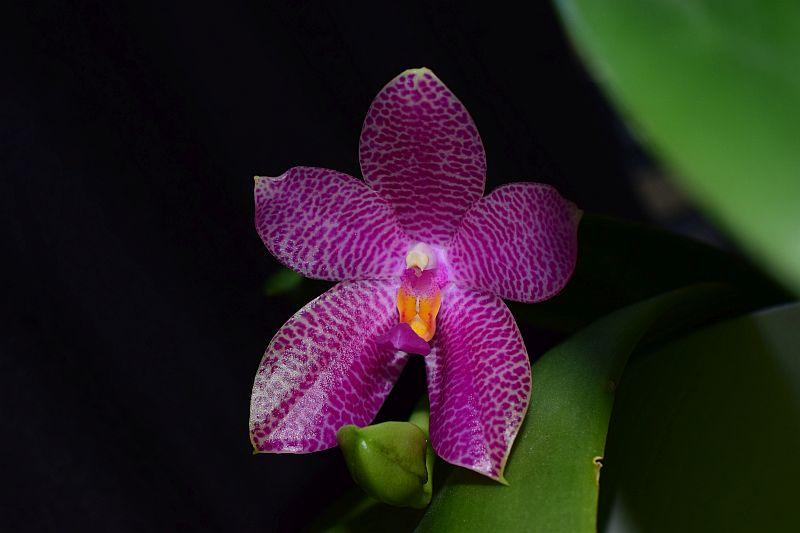 Phalaenopsis gigantea x bellina (Gigabell) Pictures_u24720_vARHXsiz