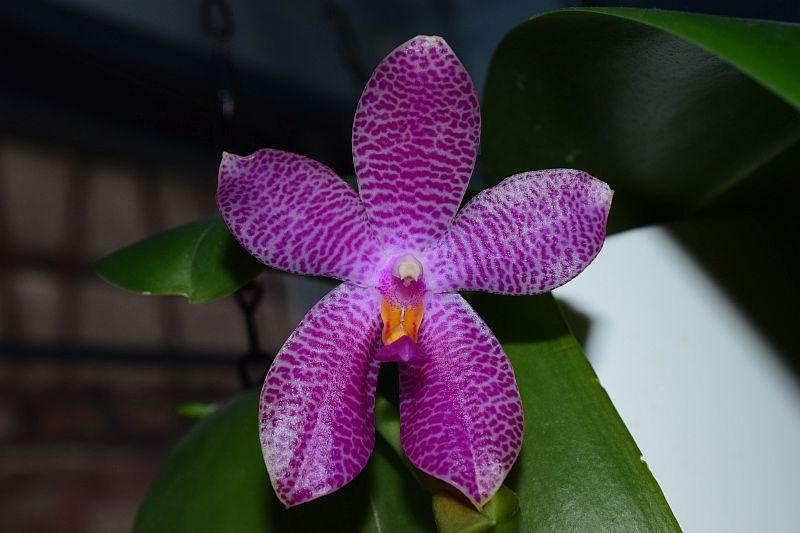 Phalaenopsis gigantea x bellina (Gigabell) - Seite 2 Pictures_u24866_XWckhpnq