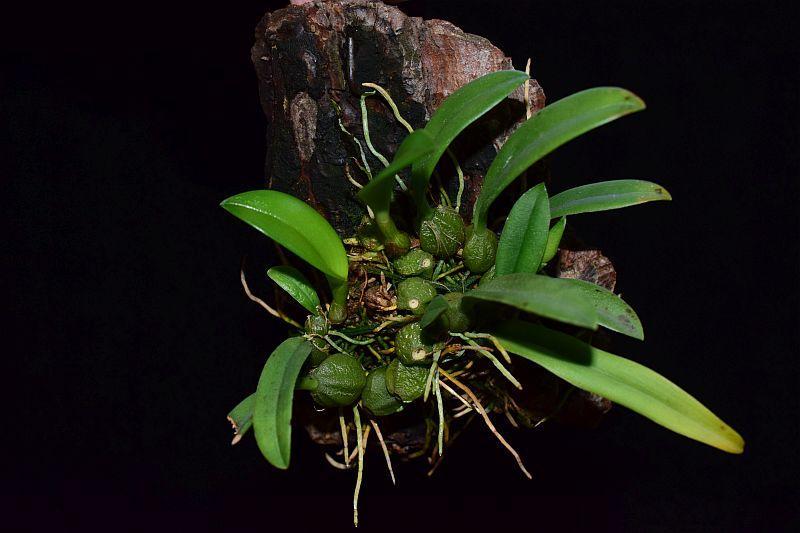 Orchideen-Neuzugang 2 - Seite 10 Pictures_u25190_dajYMDiK