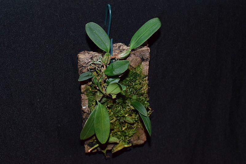 Orchideen-Neuzugang 2 - Seite 10 Pictures_u25191_PLFlSMqy