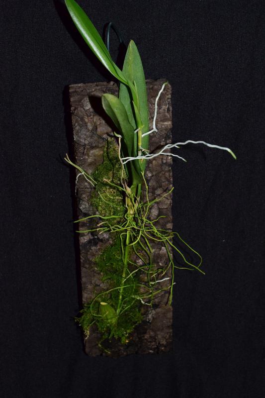 Orchideen-Neuzugang 2 - Seite 10 Pictures_u25194_xdMAplQw