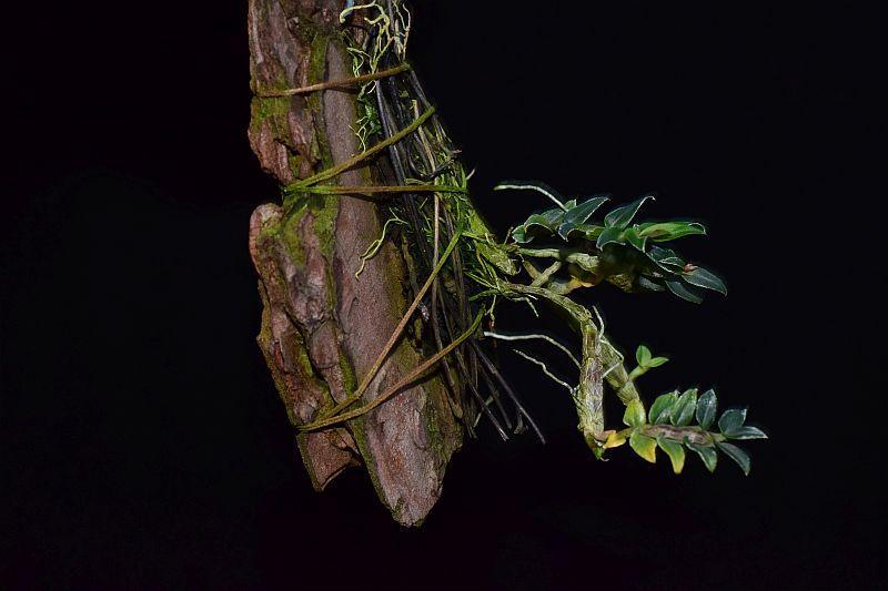 Orchideen-Neuzugang 2 - Seite 10 Pictures_u25195_pqrWgYmk