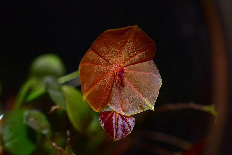Miniatur-Orchideen Teil 5 - Seite 2 Pictures_u28521_icEwtZMQ