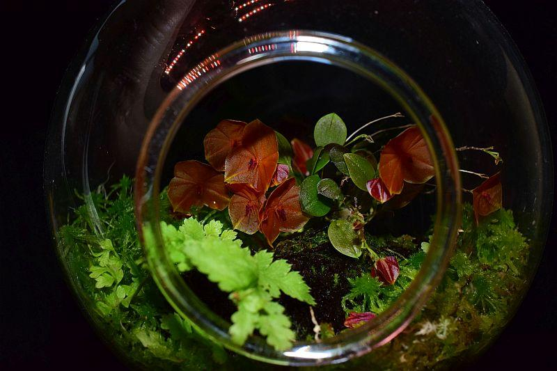 Miniatur-Orchideen Teil 5 - Seite 2 Pictures_u28522_TmpHsJZq