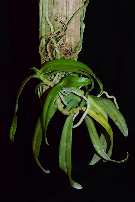 Orchideen-Neuzugang 2 - Seite 25 Pictures_u32590_HFNTZygw