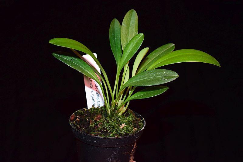 Orchideen-Neuzugang 2 - Seite 25 Pictures_u32778_nIOQNxfr
