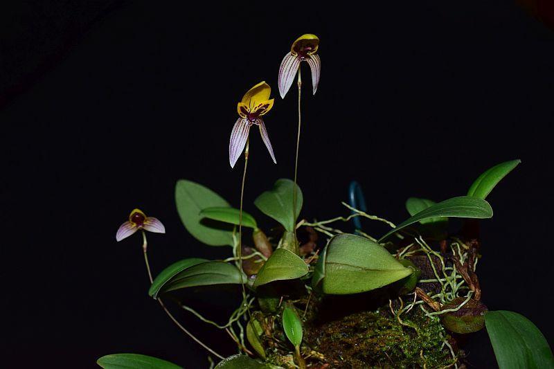 Bulbophyllum bolsteri Pictures_u33063_CzcMnFTt