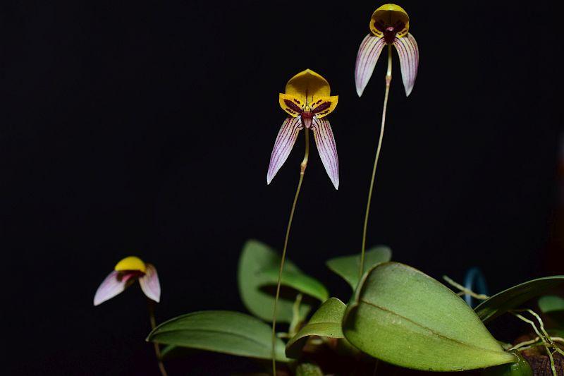 Bulbophyllum bolsteri Pictures_u33064_BCcHuInF