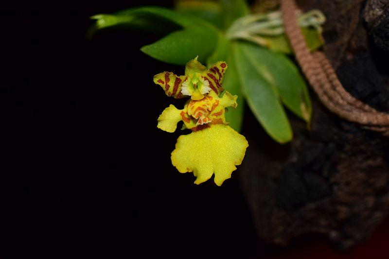 Psygmorchis (Erycina) pusilla Pictures_u33703_ShFBPGqc