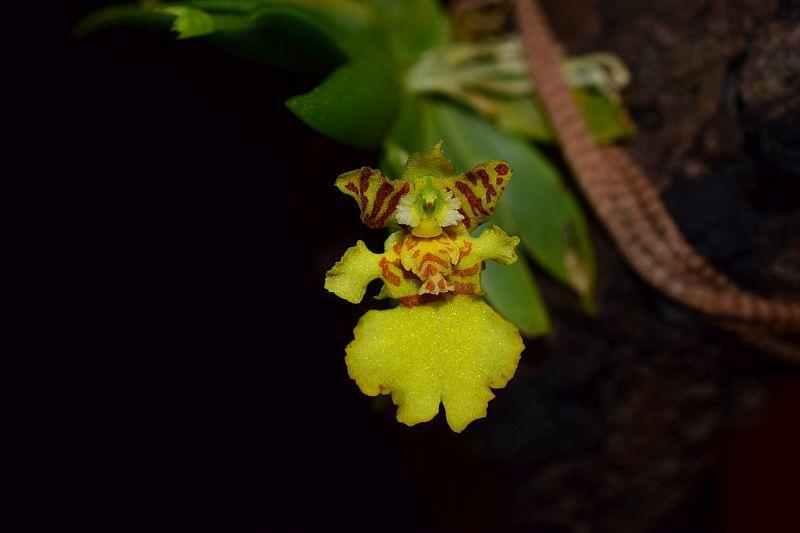 Psygmorchis (Erycina) pusilla Pictures_u33704_EyVgjAeB