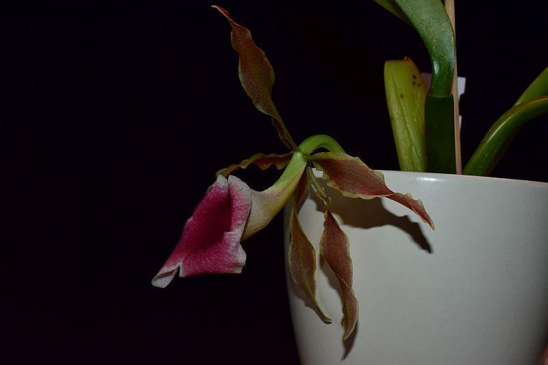 Trichopilia marginata Pictures_u36784_hrMlAUCW