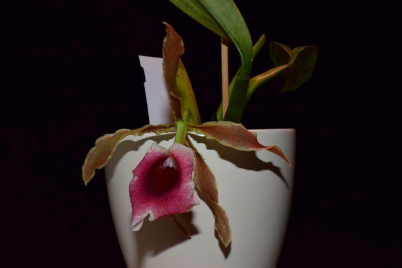 Trichopilia marginata Pictures_u36786_cpRLbIXO