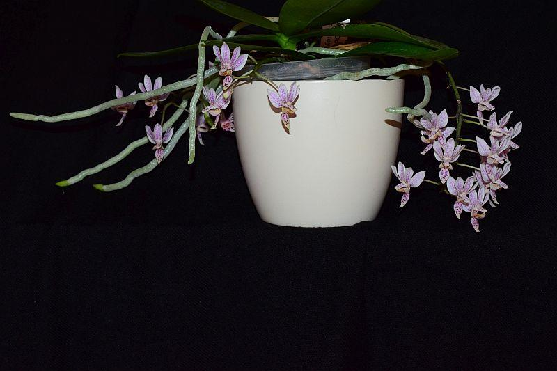 Phalaenopsis equestris x finleyi (Donna's Delight ) - Seite 5 Pictures_u37084_iDZBbjsf