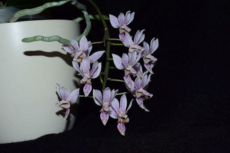 Phalaenopsis equestris x finleyi (Donna's Delight ) - Seite 5 Pictures_u37085_ONZXRDeo