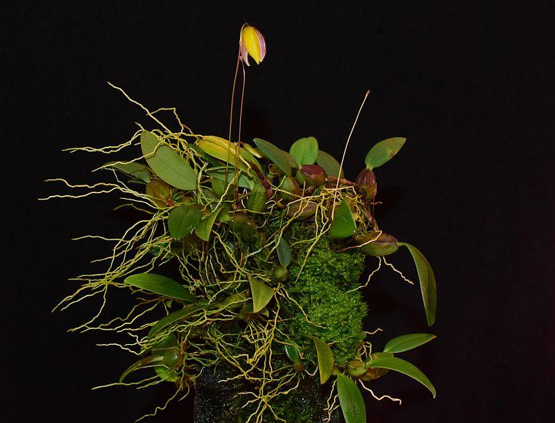 Bulbophyllum bolsteri Pictures_u38851_SvVtapHz