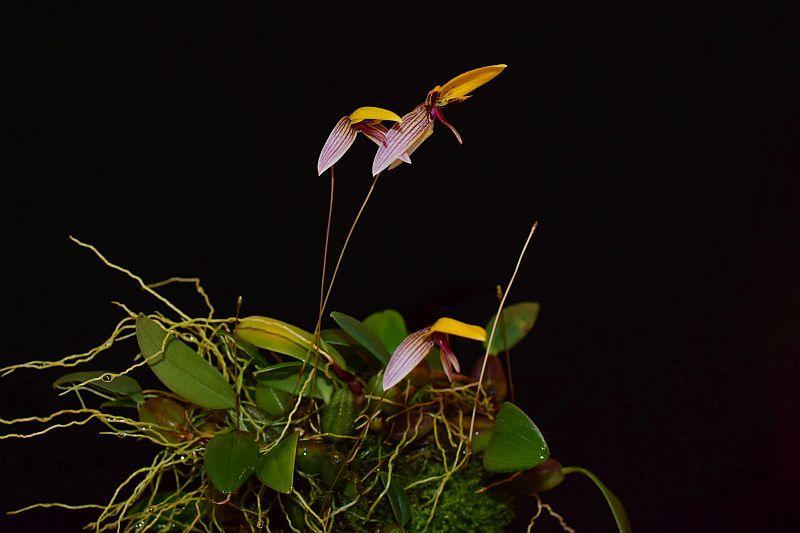 Bulbophyllum bolsteri Pictures_u38987_buaTpHQh