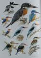 Eisvögel-0193 b.jpg