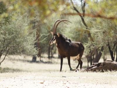 k-Rappenantilope-m÷MR÷©÷001.JPG