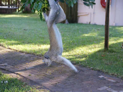 k-Chobe Safari Lodge-Meerkatzen÷©÷MR÷004.JPG