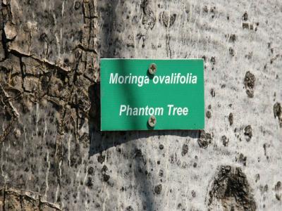 k-Halali-Moringa ovalifolia÷©÷MR÷002.JPG