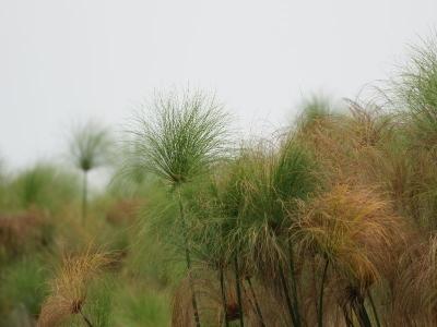 k-Guma Lagoon-Papyrus÷©÷MR÷002.JPG