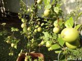 Cäsar-Apfel 2.JPG
