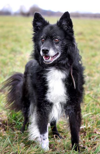 rocky spitz border collie mix 10 jahre alt im tierheim 32312 l bbecke. Black Bedroom Furniture Sets. Home Design Ideas