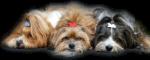 3 Havaneser Fino, Muffin und Bubba im Havi-Forum