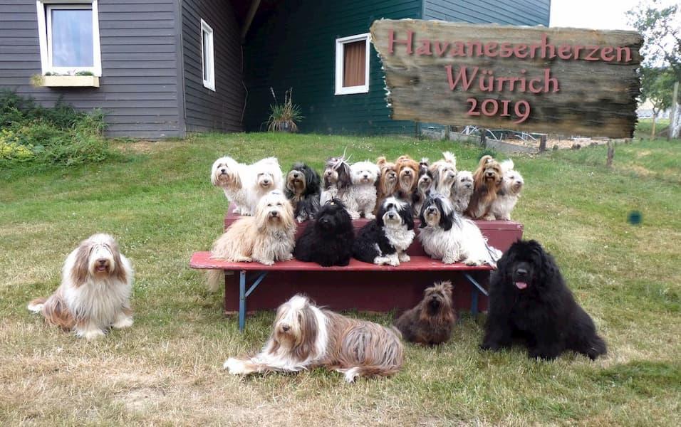 Havaneser und andere Hunde beim Havanesertreffen
